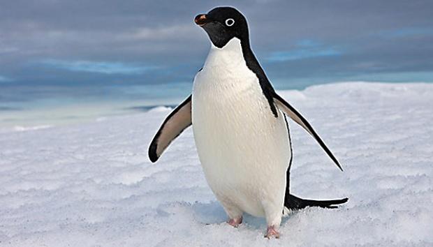 tuxedo-penguin
